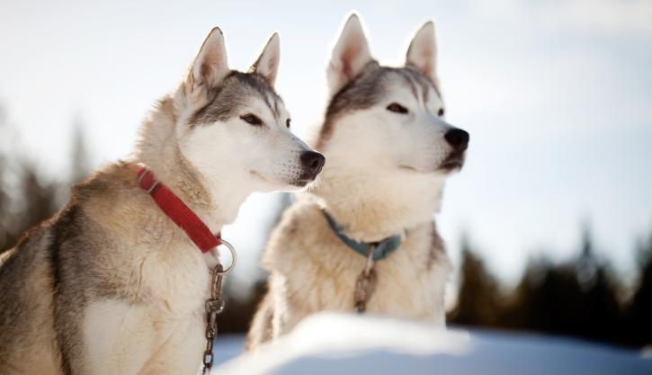 husky hund pris - Rovaniemi Husky Safari