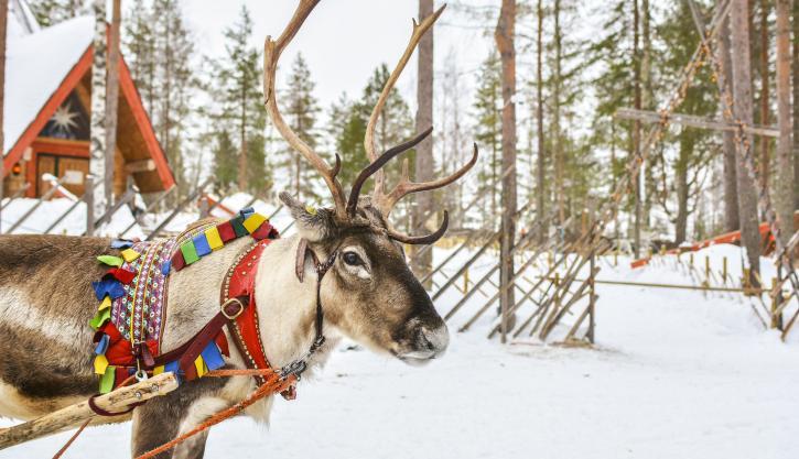 Lapland reindeer safari